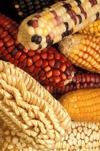 corn-386761_960_720
